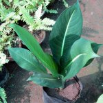 Aglonema Big Leaf