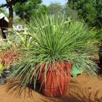 Yucca Long Polia