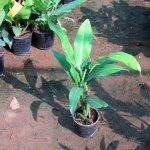 Philodendron Wendi Lendi