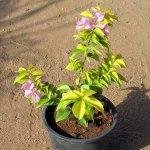 Bougainvillea Golden Leaf Plant