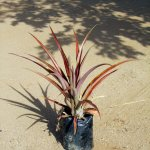 Ornamental Pineapple Red