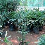 Bamboo Cane Palm