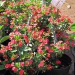 Euphorbia Milli Red