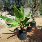 Ornamental Banana Plant