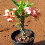 Euphorbia HB