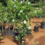 Mandaveli White
