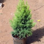 Golden Cypress Plant