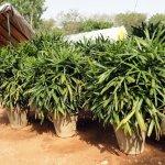 Raphis Plant