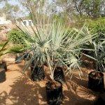 Bismarcai Plant