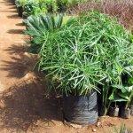Umbrella Grass Plant