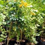 Tikomma Orange
